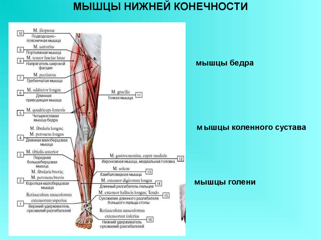 Голеностопный сустав мышцы приводящие в движение воспаление суставов у детей тазобедренных
