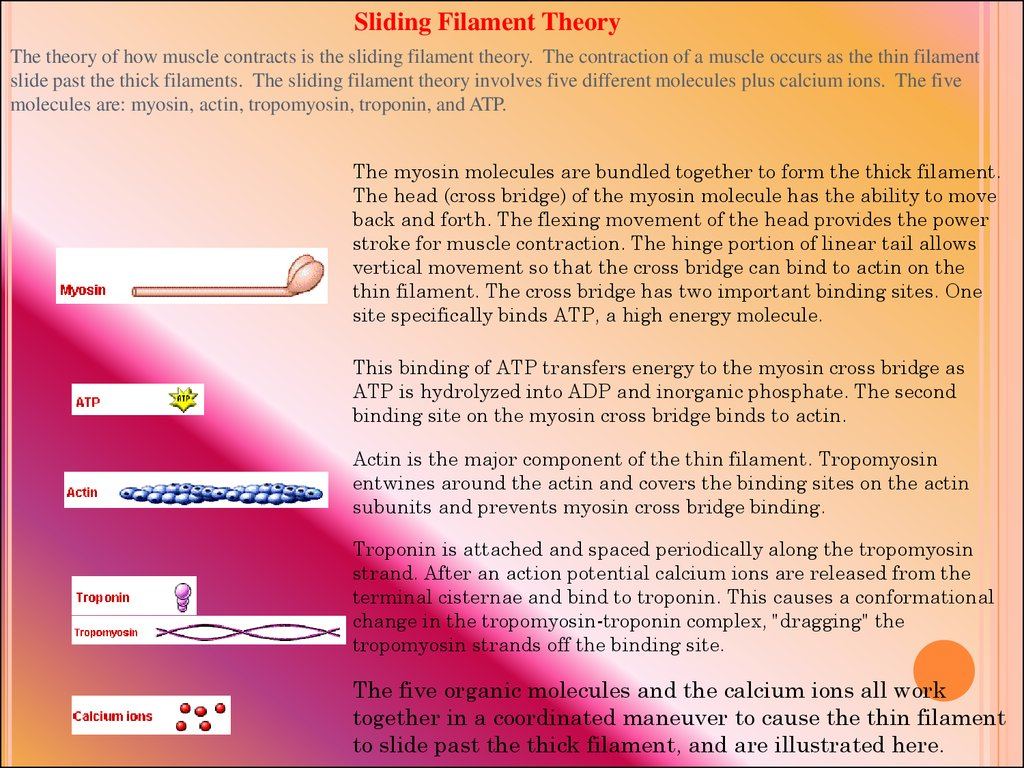 muscles and the sliding filament theory 1 explain the sliding filament theory of contraction 2 describe thin and thick filaments and the function of the associated proteins 3 explai.