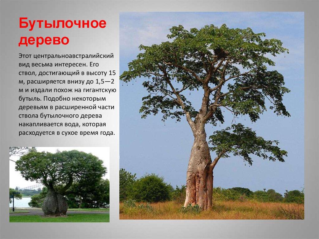 Алексей церковном серое дерево африки википедия что-нибудь представленного