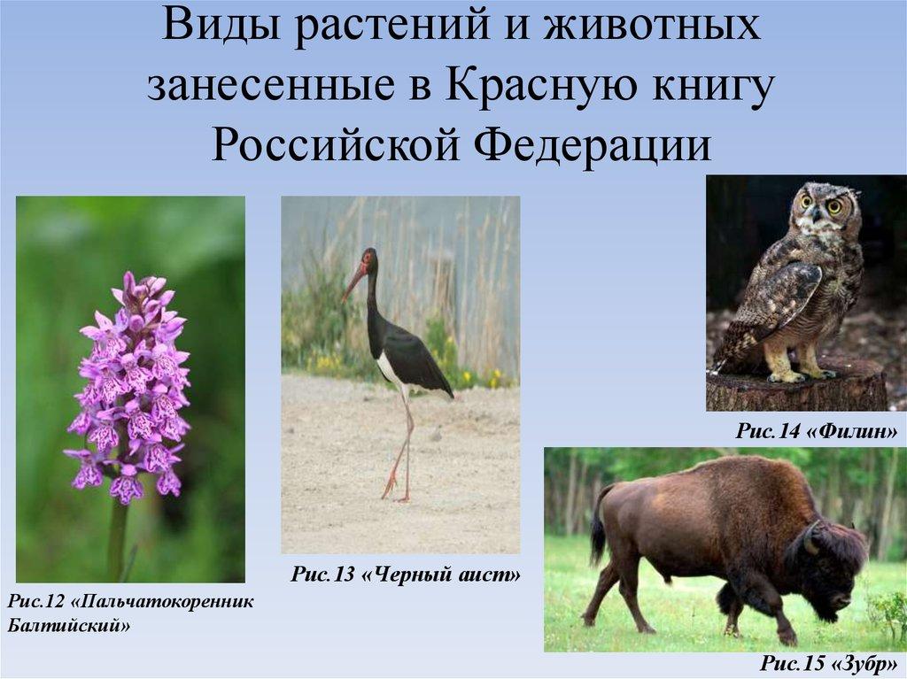 Растения и животные красной книги россии фото