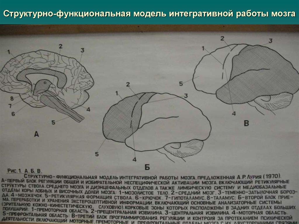 общая структурно функциональная девушка модель работы головного мозга как субстрата