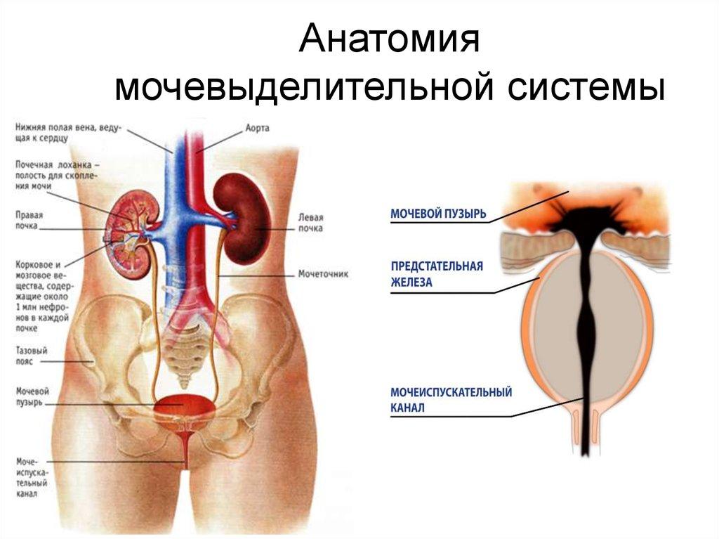 Анатомия мочевыделительной системы