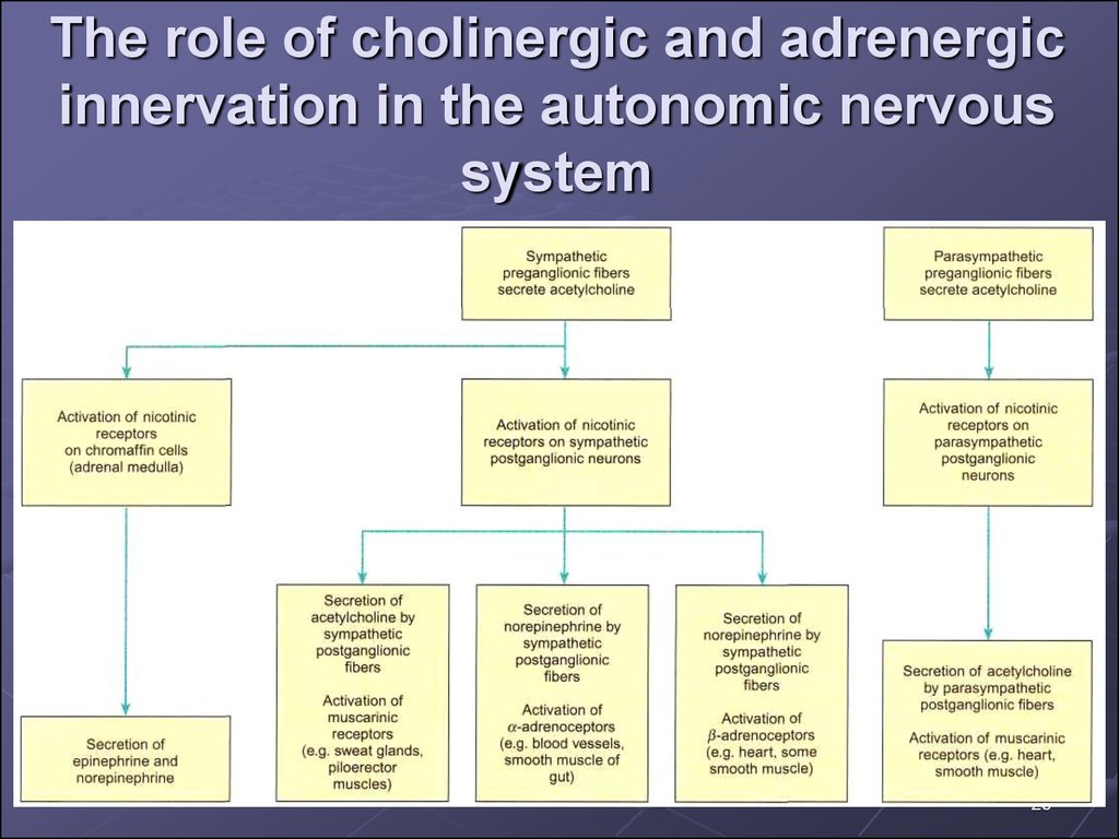 The role of cholinergic and adrenergic innervation in the autonomic nervous system