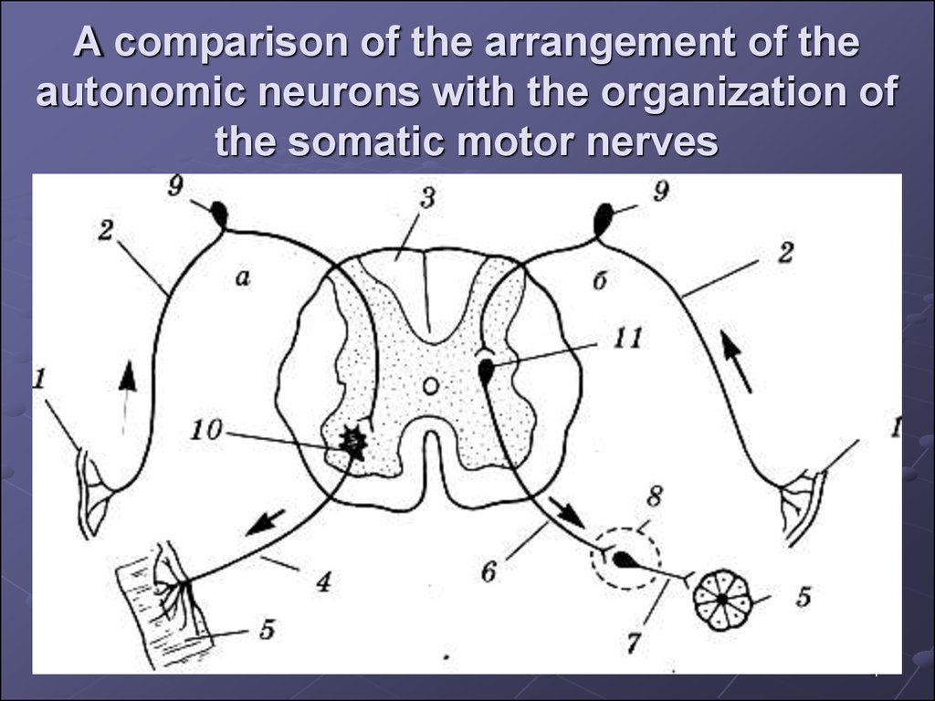 A comparison of the arrangement of the autonomic neurons with the organization of the somatic motor nerves