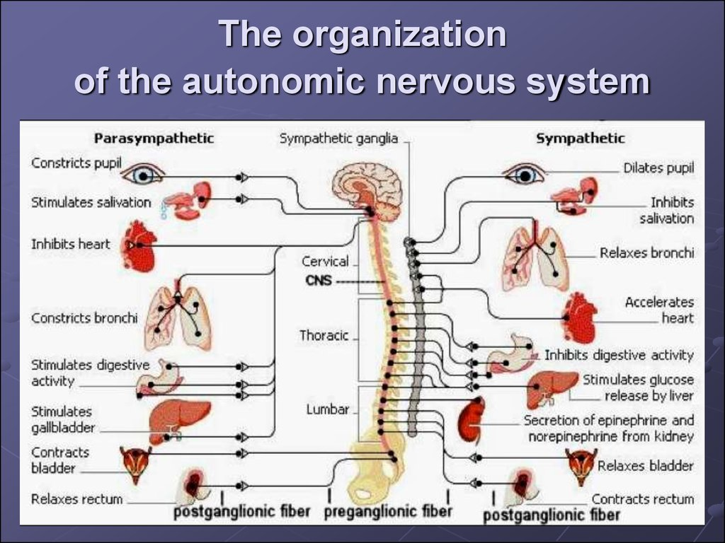 The organization of the autonomic nervous system
