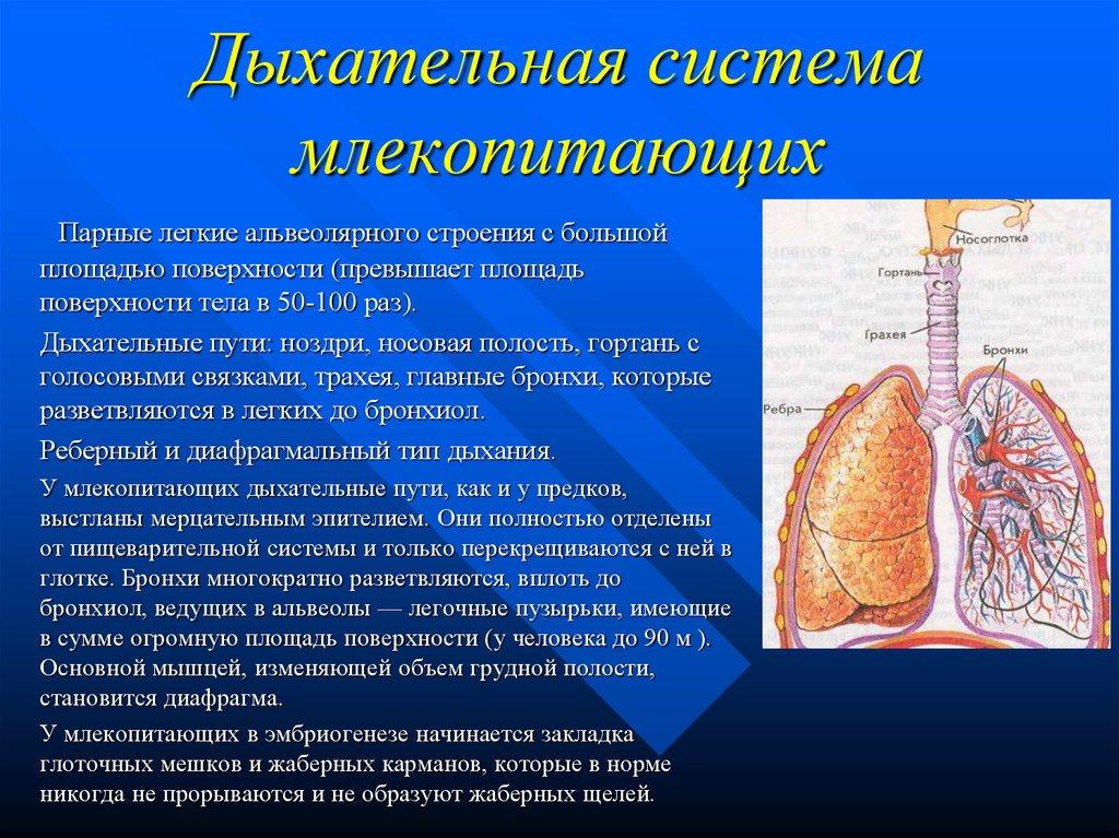 Картинки дыхательная система у млекопитающих