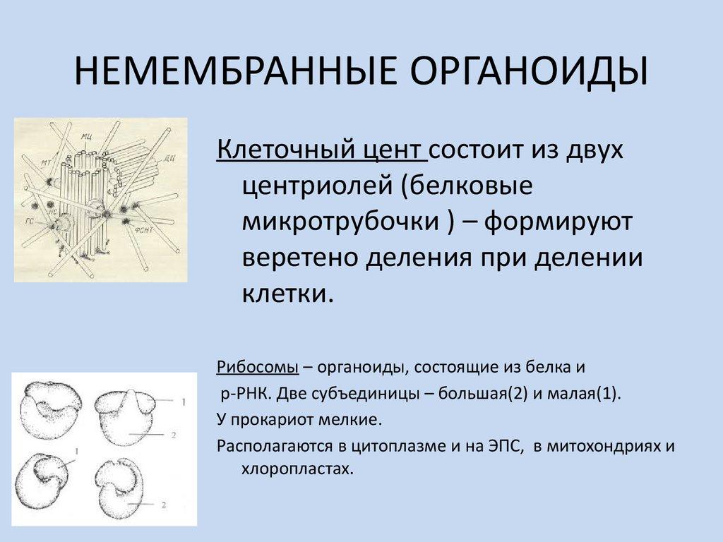Немембранный органоид картинки