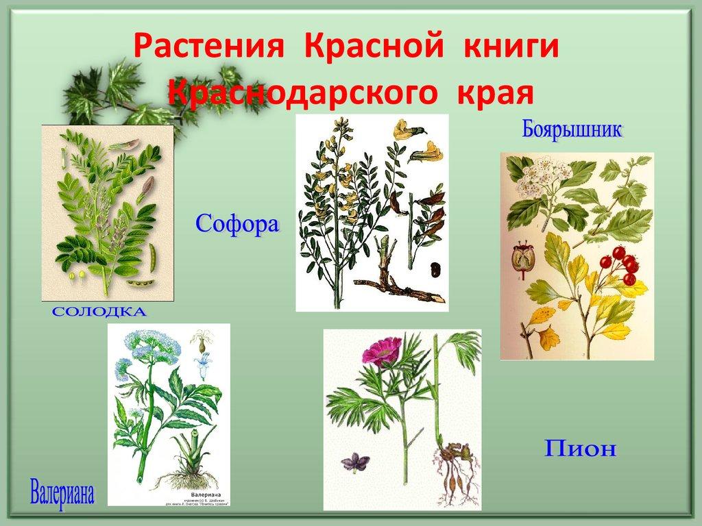 Картинки растений из красной книги