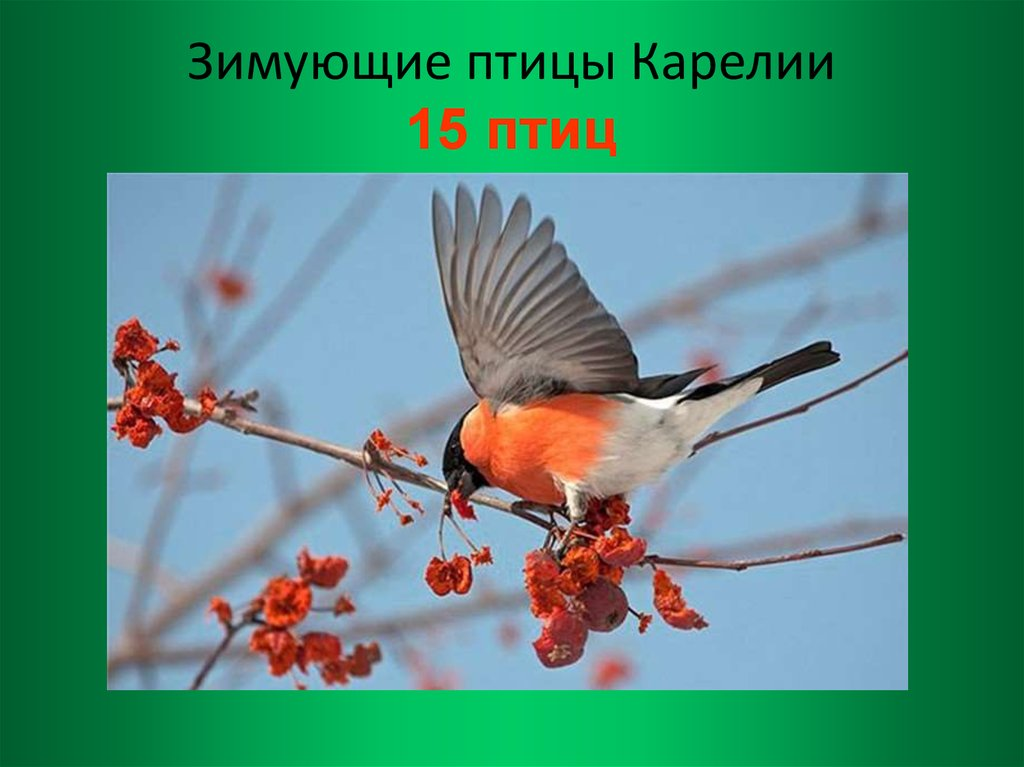 Птицы карелии картинки с названиями