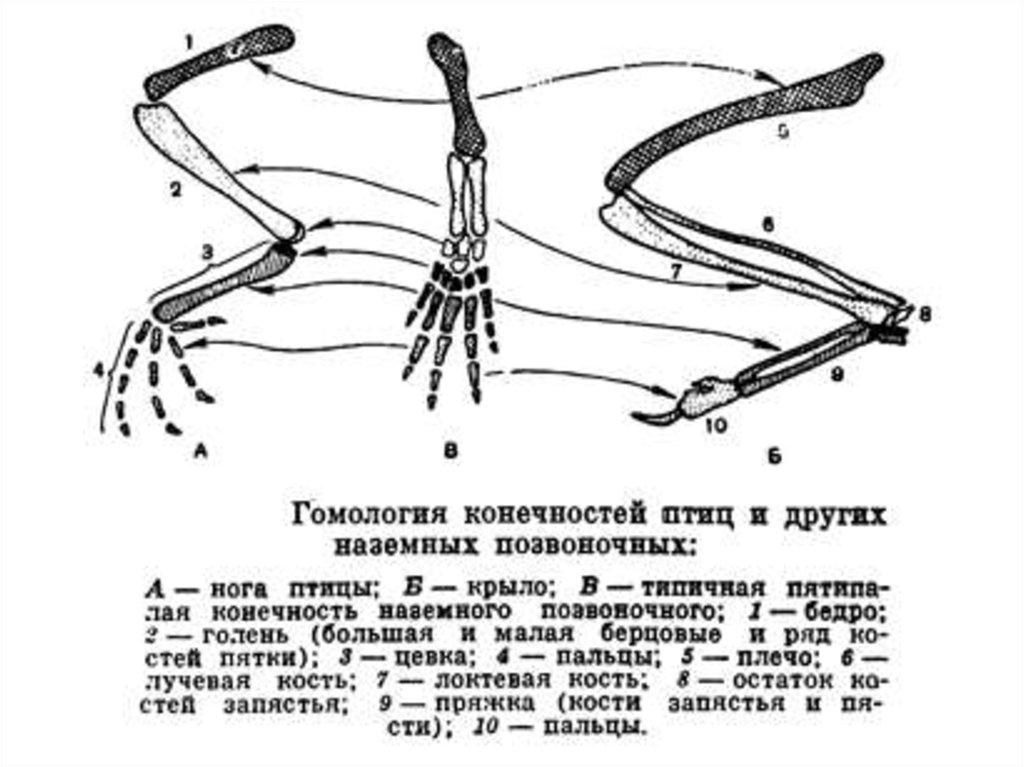 Интеркарпальный сустав пряжка как лечить коленные суставы ребенка