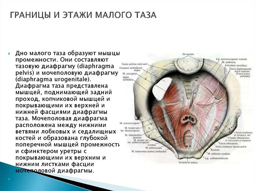 Atemberaubend Diaphragma Urogenitale Bilder - Anatomie Von ...