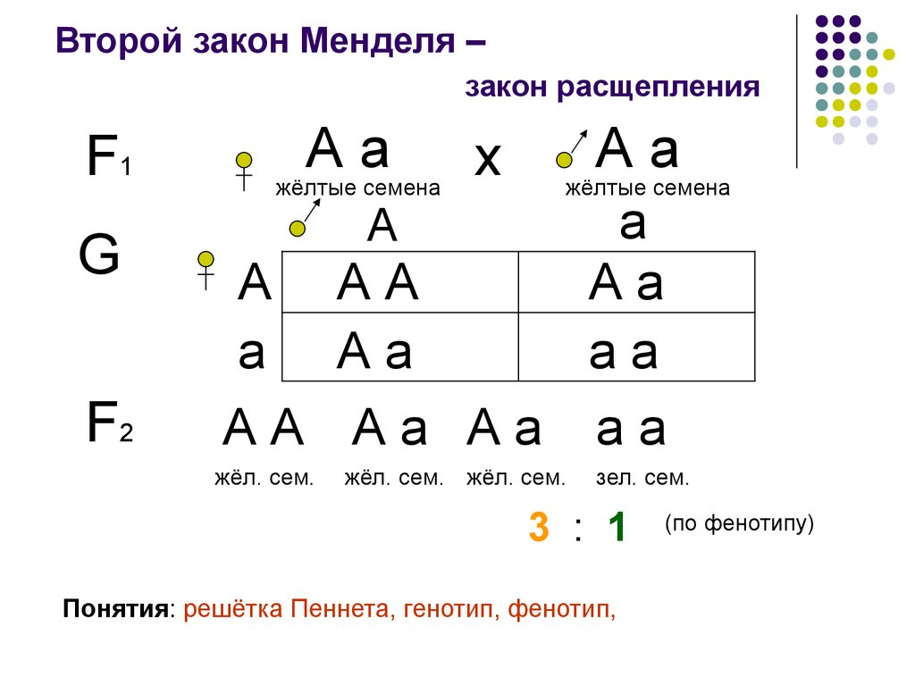 Решение задач на 1 закон менделя решение задачи коммивояжера методом динамического программирования онлайн