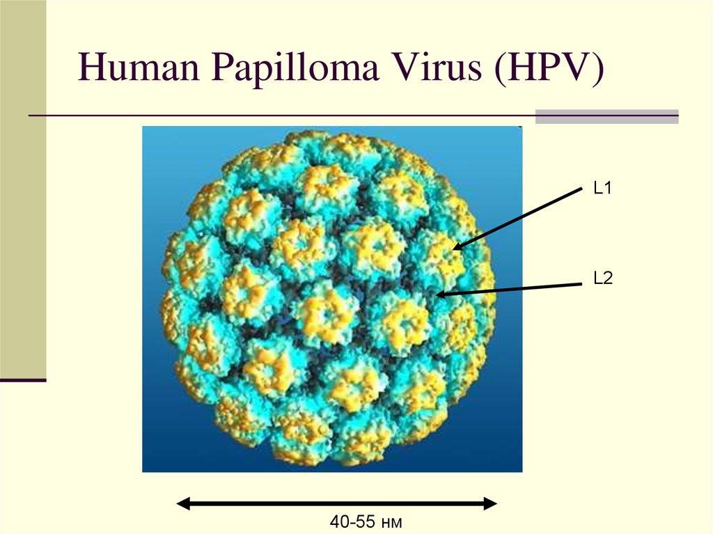 разновидность вируса папилломы человека