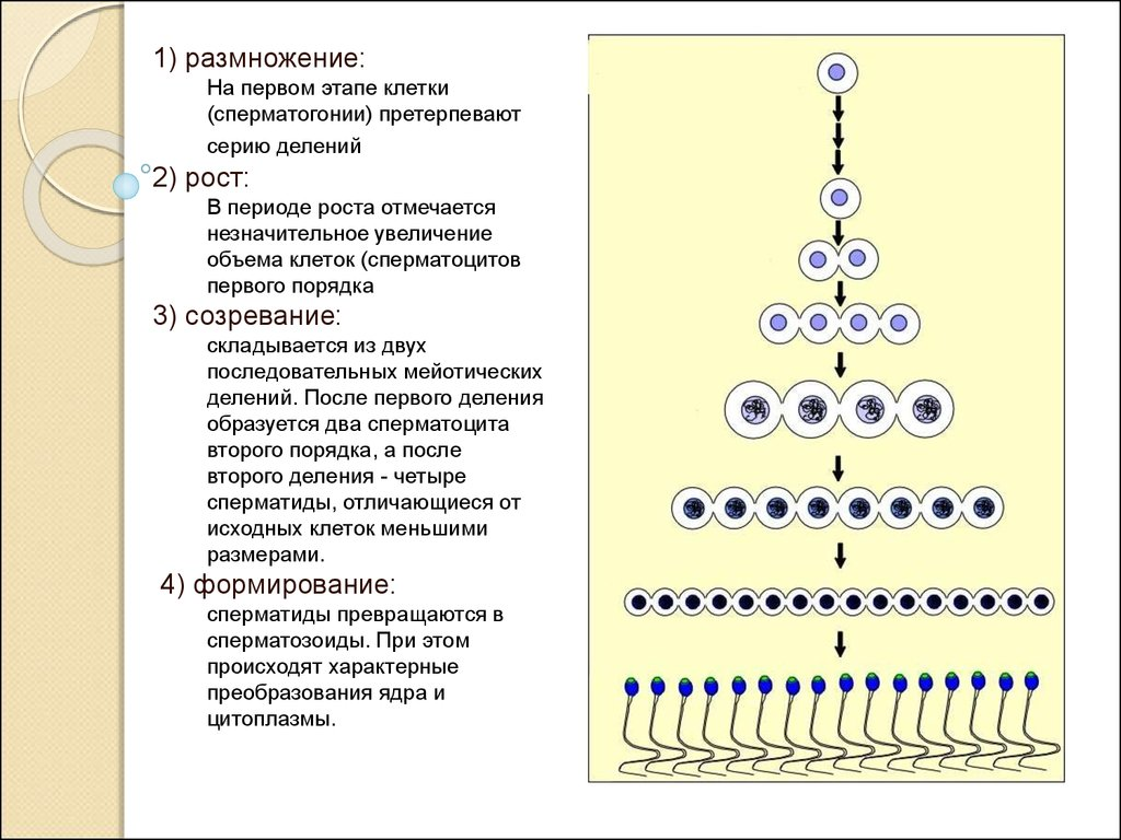 Дозревание сперматозоида