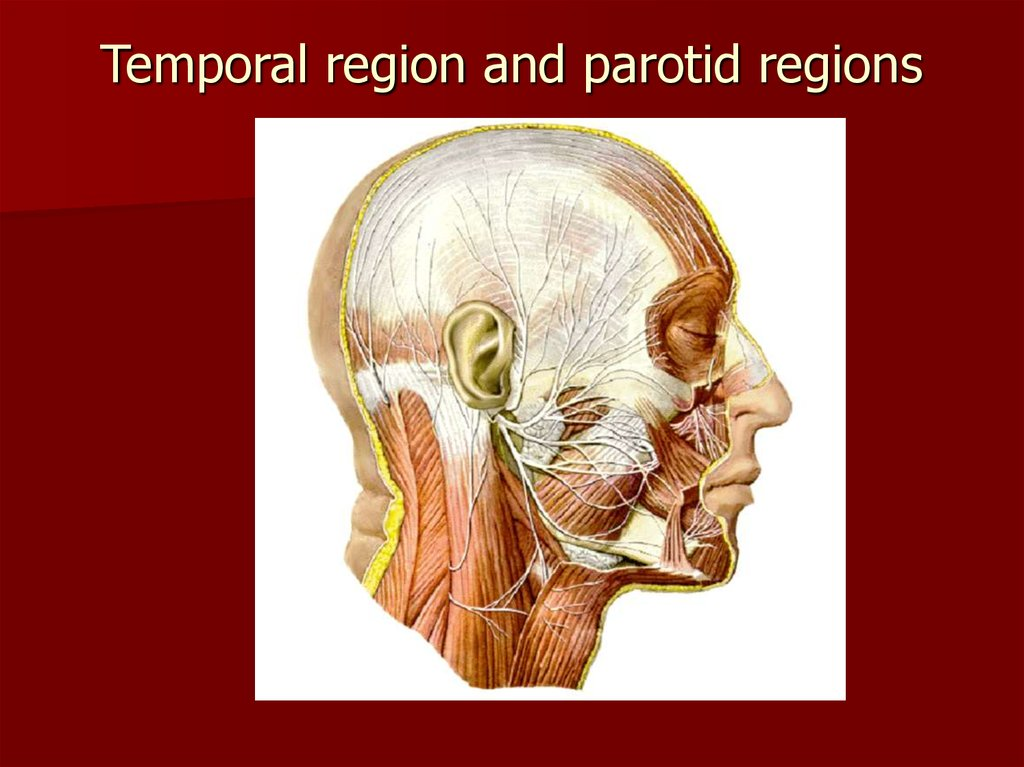 Temporal region and parotid regions