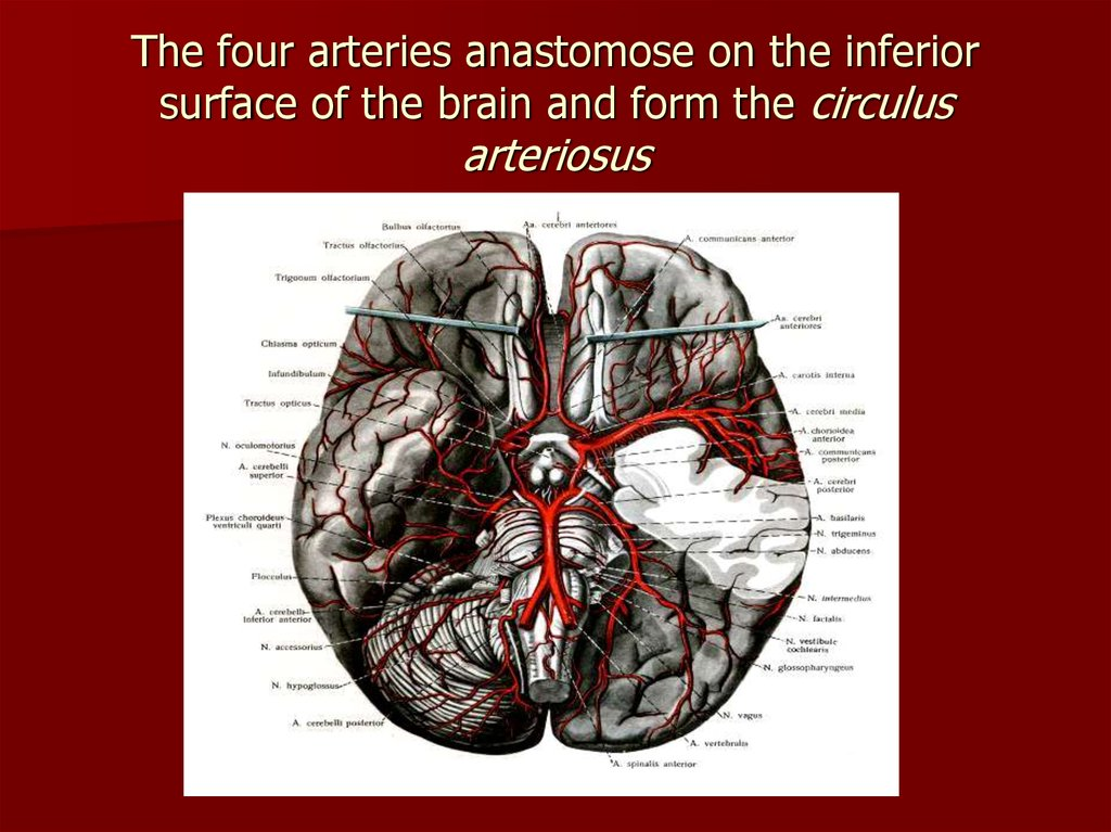 The four arteries anastomose on the inferior surface of the brain and form the circulus arteriosus