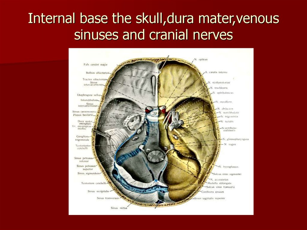 Internal base the skull,dura mater,venous sinuses and cranial nerves