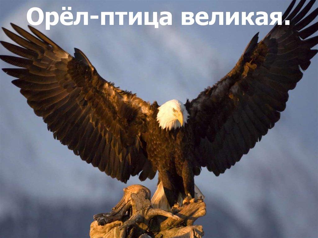 птица орёл картинки
