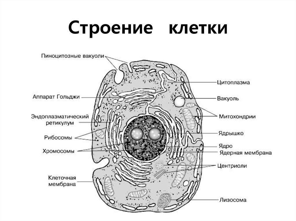 Картинка клетка человека