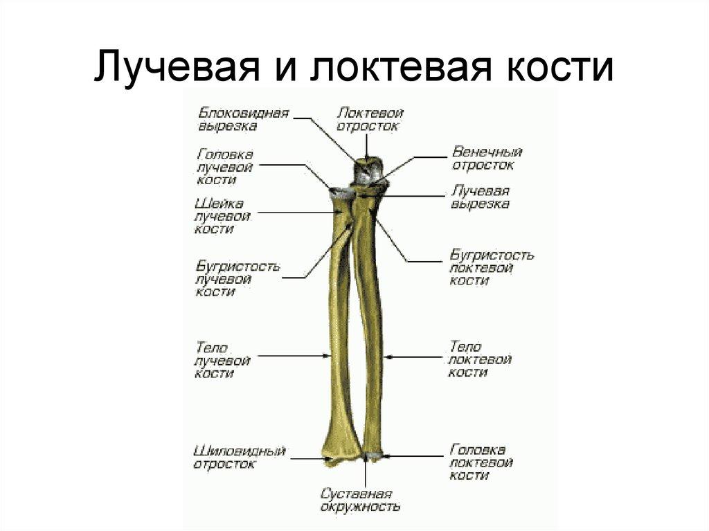 того картинка лучевой и локтевой кости сети убеждены