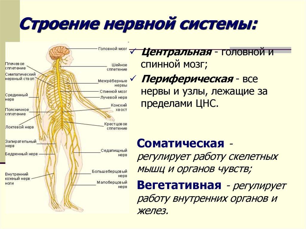 Строение нервной системы картинка