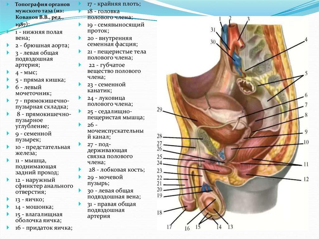 Анатомия полового акта настоящее фото сосет него яйца