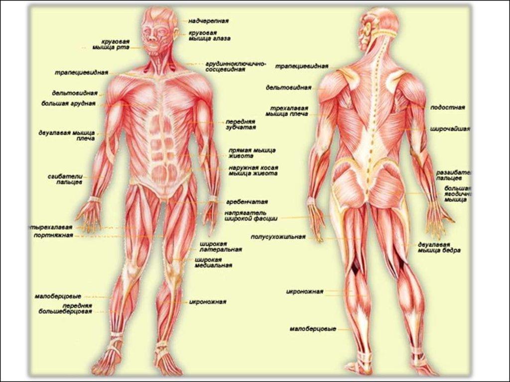 Понятие о суставах связках сухожилиях и строении мышечной системы форум кто перенес операцию флегмона тазобедренного сустава