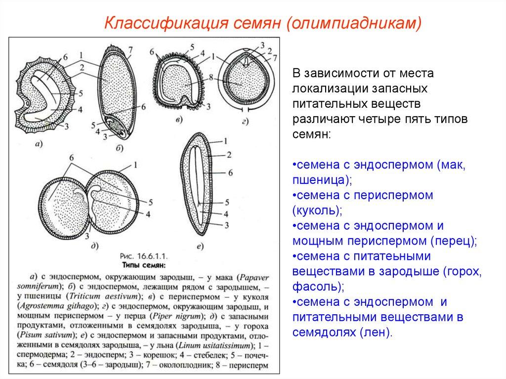 Клетки запасающей ткани перисперма