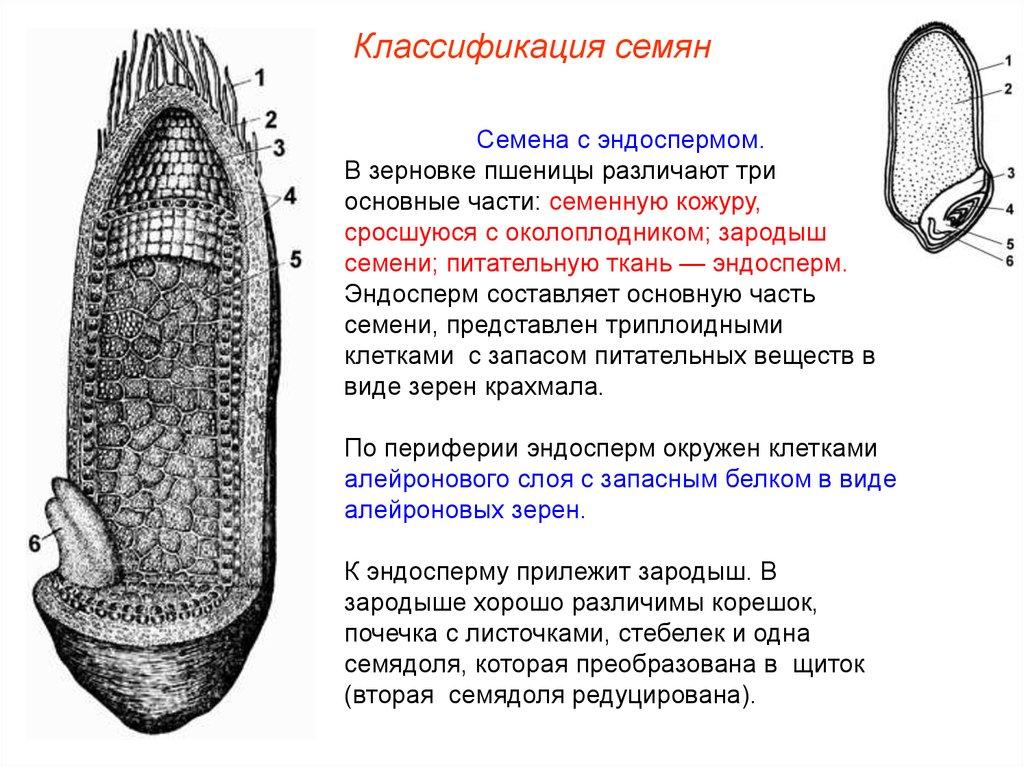 У гороха семядоли содержат триплоидный эндосперм