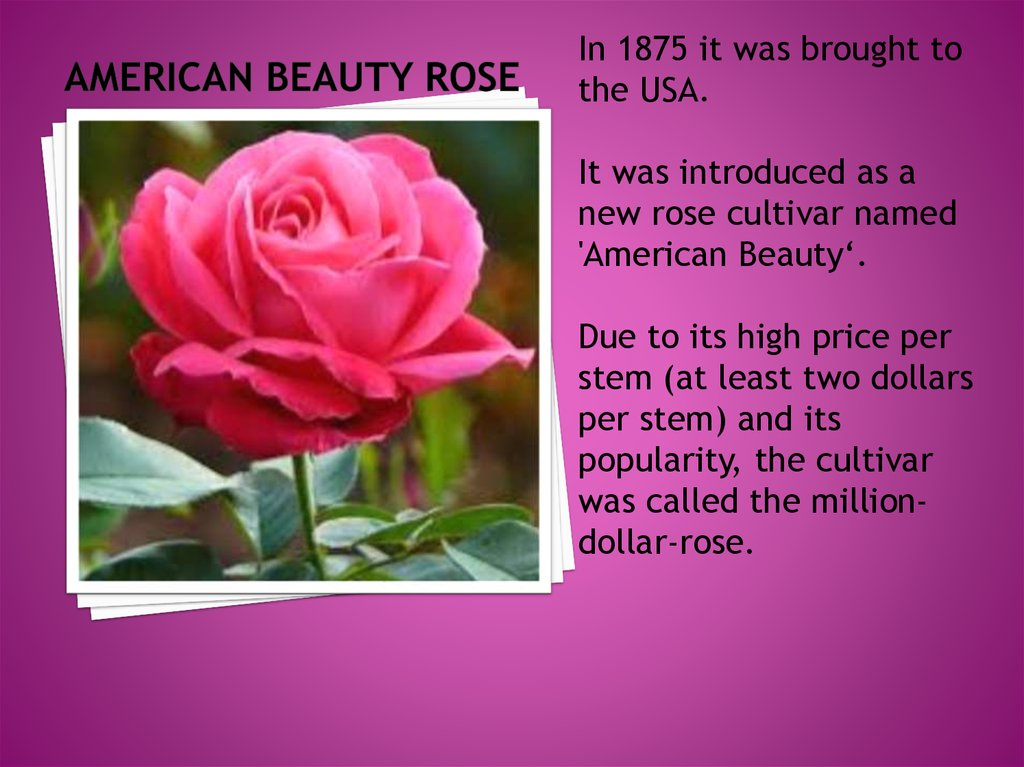 American beauty rose