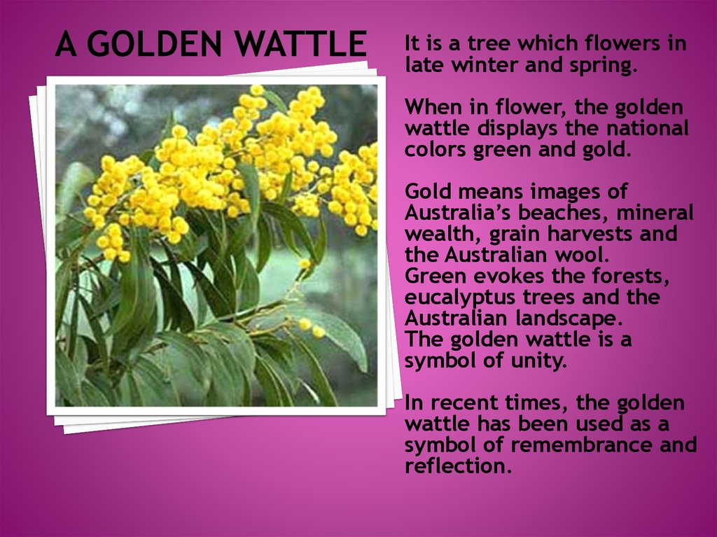 a golden wattle