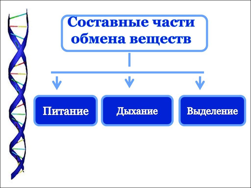 c0aa3481b499 Обмен веществ в организме человека - презентация онлайн