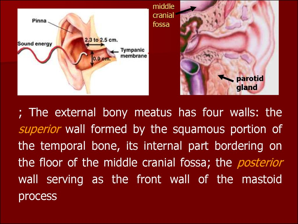 Clinical anatomy, physiology and methods of examination of the ...