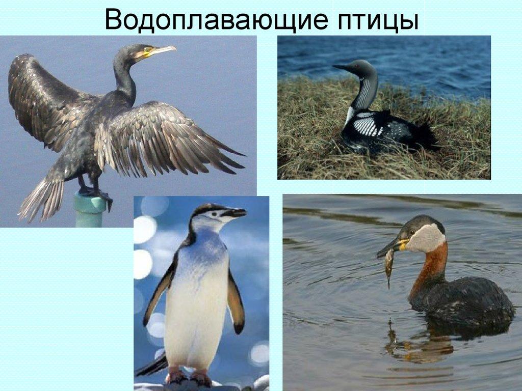 картинки водоплавающих птиц с названиями линии