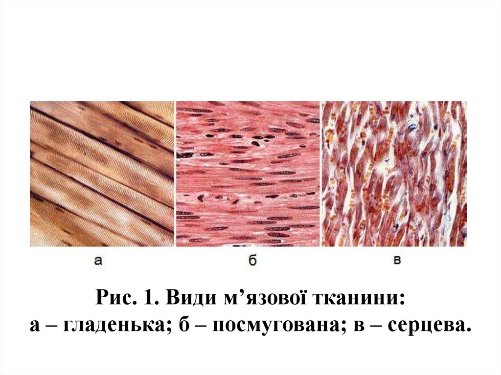види м'язової тканини фото