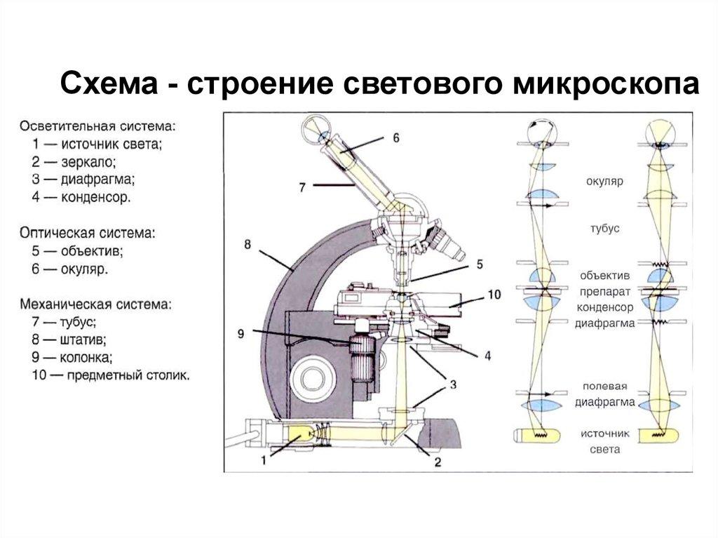 Схема строения микроскопа светового.