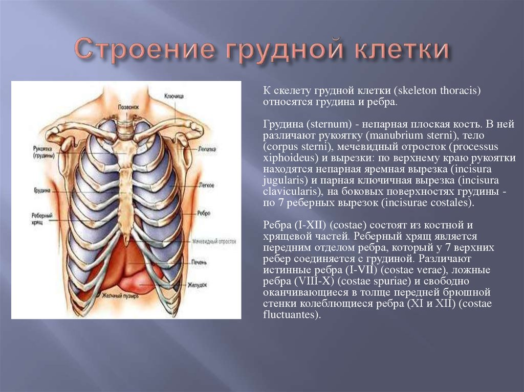сообщила, что ребра человека фото с описанием костей тем, как присвоить