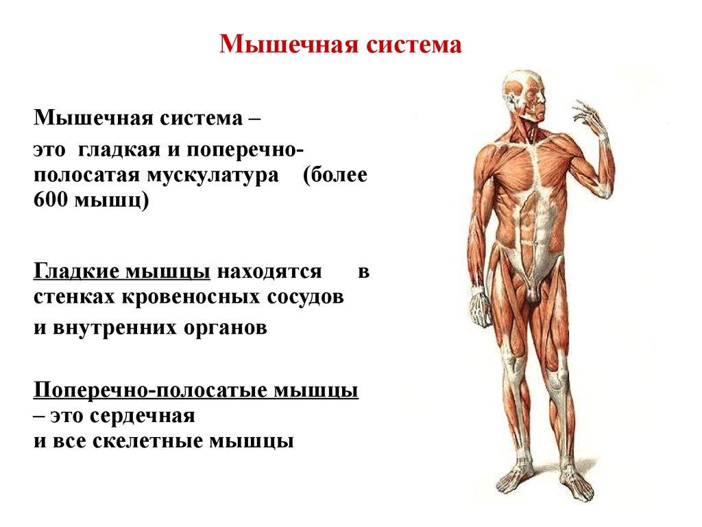 Функции мышц человека картинки