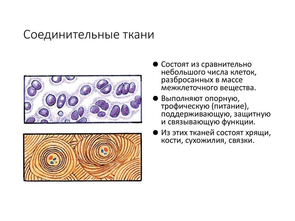 Соединительная ткани человека картинки