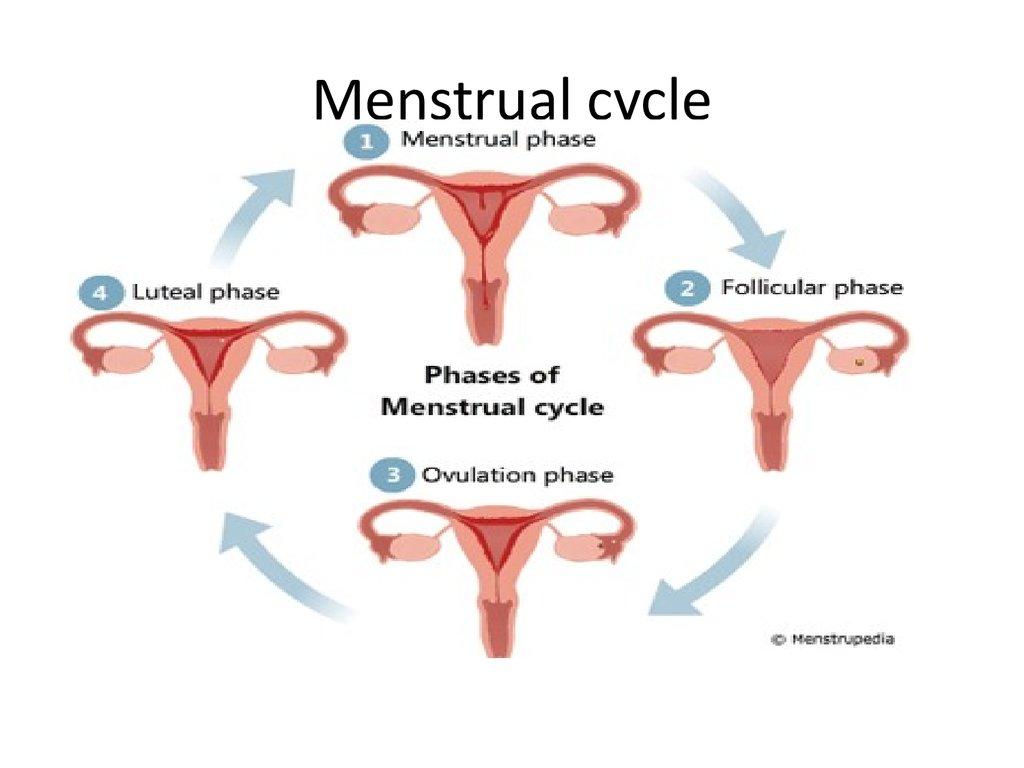 Sistema reproductivo femenino - Presentación en línea-3741