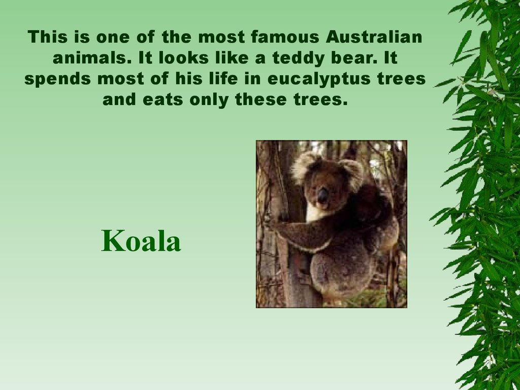 This is one of the most famous Australian animals. It looks like a teddy bear. It spends most of his life in eucalyptus trees and eats only these trees.