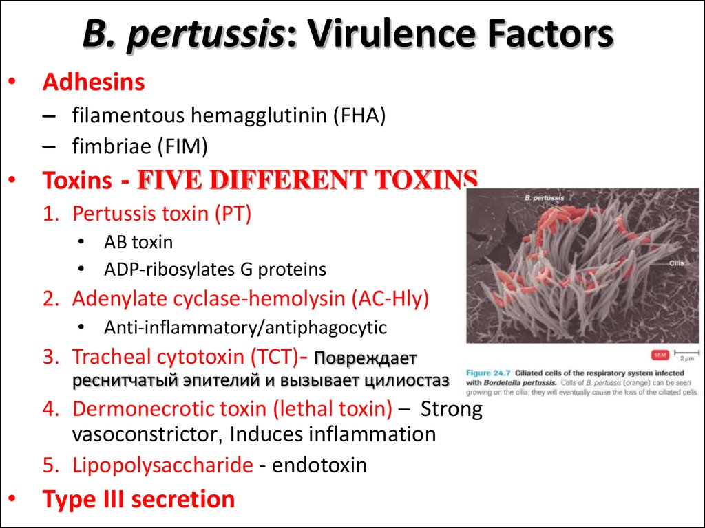 B. pertussis: Virulence Factors