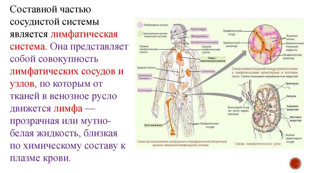 Реферат на тему лимфатическая система по анатомии 9066