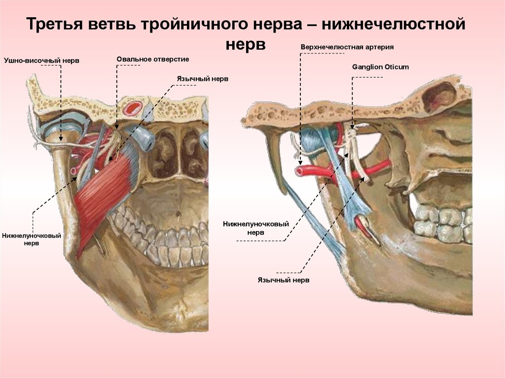 Иннервация зубов и челюстей. Топографическая анатомия тройничного ...