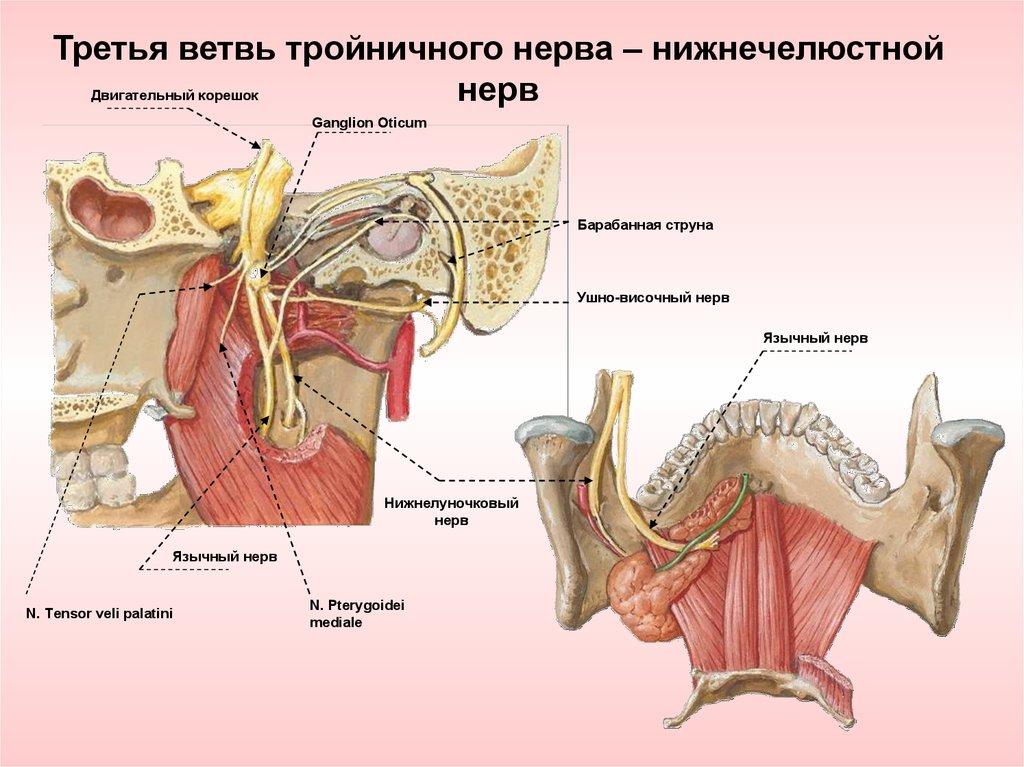 Großzügig Ganglion Oticum Bilder - Menschliche Anatomie Bilder ...