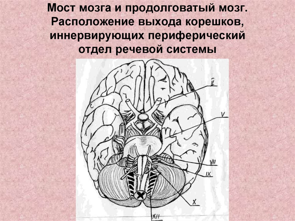 средство картинки мозга мост говорила