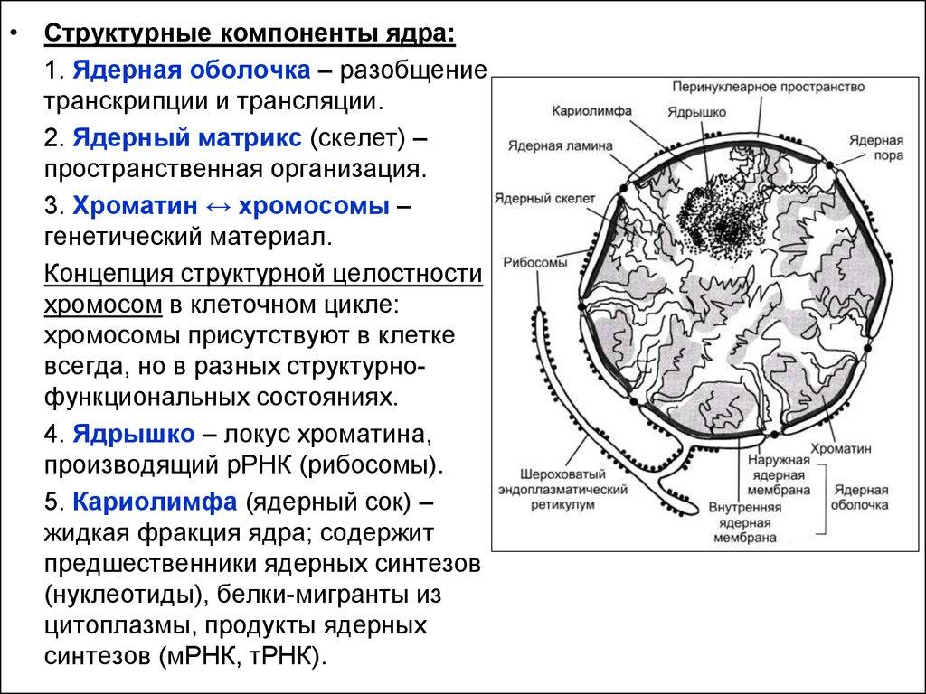 Структурные компоненты ядра реферат 1493