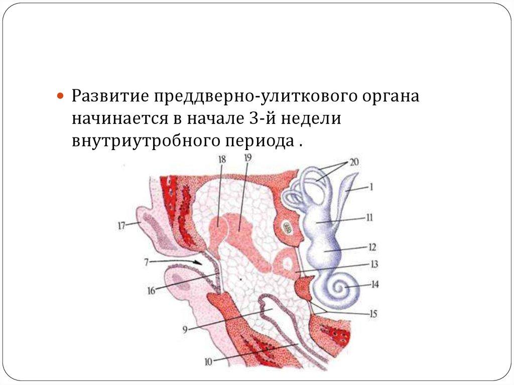 Анатомия внутреннего уха - online presentation