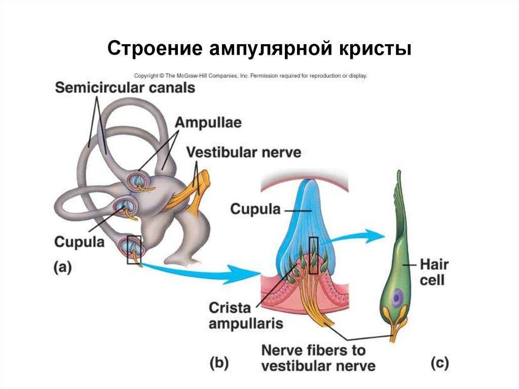 ampulla of ear - 640×481