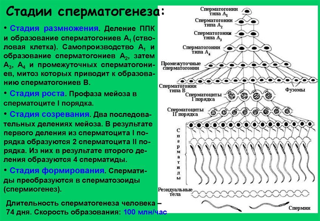 Количество стадий сперматогенеза